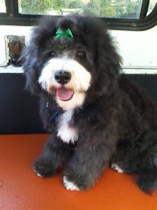 Abby-dog-grooming-92109-Pacific-Beach