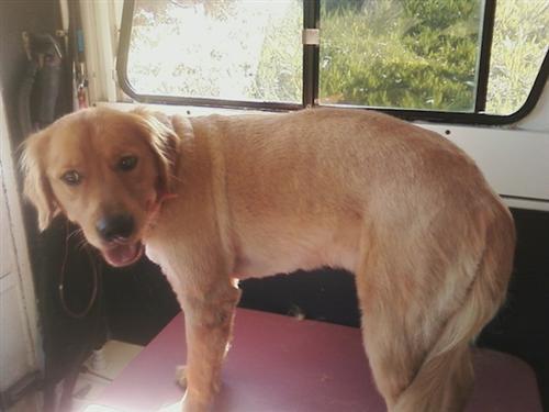 Archie-pet-grooming-92037-LaJolla