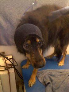 Chloe-Happy-Hoody-pet-grooming-92130-Carmel-Valley