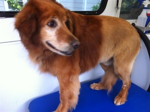 Cody-Lion-Clip-92037-dog-grooming-La-Jolla