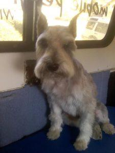 Fritz-Schnauzer-dog-grooming-Rancho-Penasquitos-92129