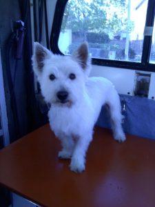 Jake-Westie-pet-grooming-Scripps-Ranch-92131