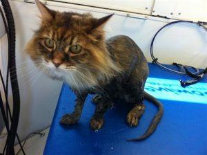 Lion-Clip-Cat-grooming-La-Jolla-92037 (1)