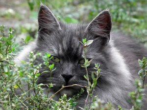 Siberian-Cat