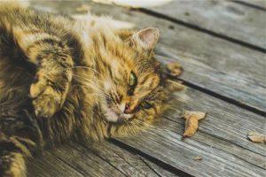 Siberian-Cat2