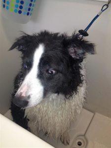 Soda-dog-grooming-Carmel-Valley-92130