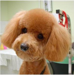 Teddy-Haircut