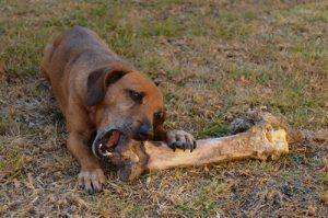 dog-chewing-on-bone