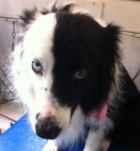 domino-claudie-dog-grooming-La-Jolla-92037